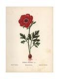 Scarlet Poppy Anemone, Anemone Coronaria Giclee Print by Hannah Zeller