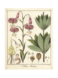 Martagon or Turk's Cap Lily, Lilium Martagon Giclee Print by F. Guimpel