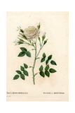 Rosenberg's Rose, Rosa Francofurtana Variety Giclee Print by Pierre-Joseph Redouté