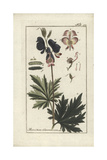 Monkshood Hybrid, Aconitum X Cammarum Giclee Print