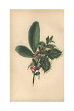 Christmas Wreath of Box, Laurel and Holly Giclee Print by Rebecca Hey