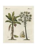 Banana Tree, Musa Paradisiaca, and Papaya Tree, Carica Papaya Digitálně vytištěná reprodukce