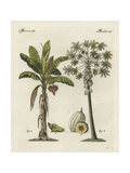 Banana Tree, Musa Paradisiaca, and Papaya Tree, Carica Papaya Giclee Print