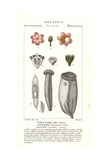 Fine-Leaf Wadara, Couratari Guianensis, Vulnerable Giclee Print by Pierre Turpin