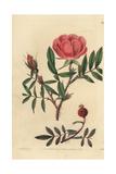 Dwarf Labrador Shining Rose, Rosa Nitida Giclee Print by John Lindley