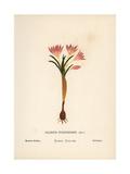 Meadow Saffron, Colchicum Montanum Giclee Print by Hannah Zeller