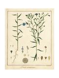 Common Flax or Linseed, Linum Usitatissimum Giclée-Druck von F. Guimpel