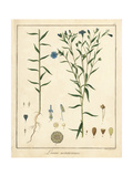 Common Flax or Linseed, Linum Usitatissimum Giclee Print by F. Guimpel
