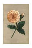 Gloire De Dijon Rose, Variety of the Noisette Rose Giclee Print by Francois Grobon