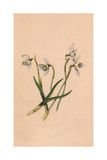 Snowdrop, Galanthus Nivalis Giclee Print by James Andrews