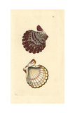 Royal Cloak Scallop, Gloripallium Pallium Giclee Print by Richard Nodder