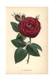 Jules Margottin Rose, Hybrid Giclee Print by Francois Grobon