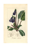Cat's Claw Flower, Martynia Speciosa Giclee Print by Pancrace Bessa