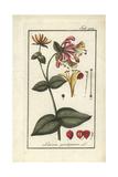 Honeysuckle, Lonicera Periclymenum Giclee Print