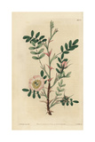 Rosa Sericea with Pink Tinged Flowers, Buds and Pink Thorns Giclee Print by John Lindley