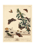 Small Emperor Moth, Smaller Eggar Moth and Yellow-Tail Moth Giclee Print by Moses Harris