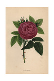 John Hopper Rose, Hybrid Giclee Print by Francois Grobon