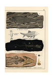 Fossils of Fish, Crustaceans, and Amphibians Giclee Print