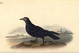Rook, Corvus Frugilegus Posters by Edward Donovan