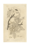 Ramanas Rose of Japan, Rosa Rugosa Giclee Print by John Lindley