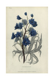 Dark Purple Larkspur, Delphinium Elegans Pleno Giclee Print by William Clark