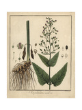 Figwort, Scrophularia Nodosa Giclee Print by F. Guimpel