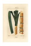 Sugar Cane, Saccharum Officinarum Giclée-Druck von Pierre Turpin