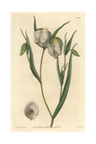 Globe Lily, Calochortus Albus Giclee Print by Sarah Drake