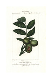 Walnut Tree, Juglans Regia Giclee Print by Pierre Turpin