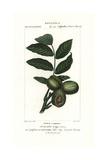 Walnut Tree, Juglans Regia Giclee Print by Pierre Turpin