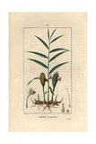 Ginger Plant, Zingiber Officinale Giclee Print by Pierre Turpin