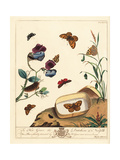 Ruby Tiger Moth, Wall, White Spot and Duke of Burgundy Butterflies Giclee Print by Moses Harris