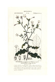 Curly Leaved Tobacco, Nicotiana Plumbaginifolia Giclee Print by Pierre Turpin