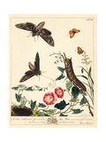 Unicorn Hawk-Moth and Small Heath Butterfly Giclee Print by Moses Harris
