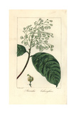 Sterculia Balanghas, Native to Africa, America and Asia Giclee Print by Pancrace Bessa