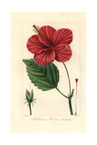 Chinese Hibiscus, Hibiscus Rosa Sinensis, Native to East Asia Giclee Print by Pancrace Bessa