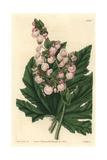 Parsnip-Leaved or Starleaf Begonia, Begonia Heracleifolia Giclée-tryk af Sarah Drake