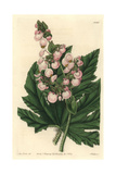Parsnip-Leaved or Starleaf Begonia, Begonia Heracleifolia Giclee Print by Sarah Drake