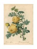 Yellow Sulfur Rose, Rosa Hemisphaerica Giclee Print by Pierre-Joseph Redouté