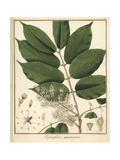 Copal or Copaiba Tree, Copaifera Guyanensis Reproduction procédé giclée par F. Guimpel