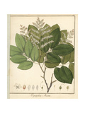 Copal or Copaiba Tree, Copaifera Martii Giclee Print by F. Guimpel
