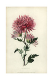 Starry Purple Chinese Chrysanthemum Giclee Print by William Clark