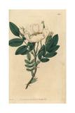 Lyell's Rose, Rosa Lyellii Giclee Print by John Lindley