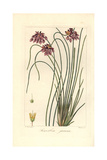 Rush Lily, Sowerbaea Juncea, Native to Australia Giclee Print by Pancrace Bessa