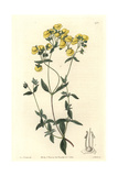White-Leaved Slipperwort or Capachito, Calceolaria Polifolia Giclee Print by Sarah Drake
