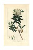 Bog Labrador Tea Tree, Rhododendron Groenlandicum Giclee Print by Pancrace Bessa