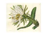 Strawberry Pear Cactus, Hylocereus Trigonus Giclee Print by Sarah Drake