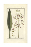 Common Water-Plantain, Alisma Plantago-Aquatica Giclee Print