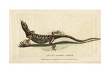 Little Brown Lizard Giclee Print by George Edwards