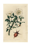 China Rose, Rosa Sinica, with White Flower and Bud Giclee Print by John Lindley